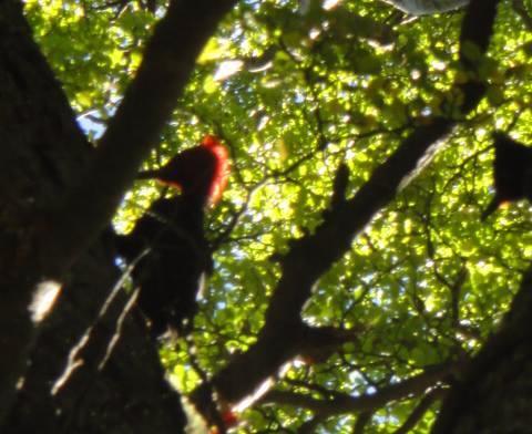 pájaro carpintero torres del paine